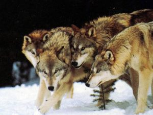 wolfpack-2